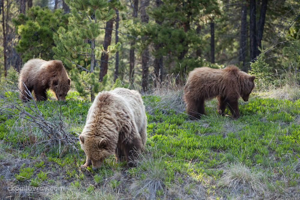 A grizzly bear and her cubs, now sticking closer together.  Photo by Christa Galloway.