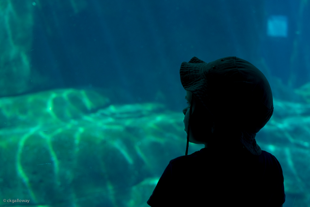 Oscar watching the beluga whales at the Vancouver Aquarium.  Photo by Christa Galloway.