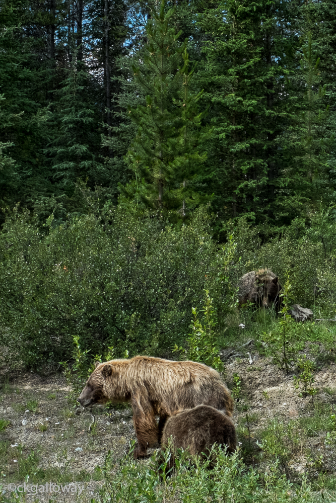 Our neighbourhood Grizzly bear family, the cubs are getting bigger.  Photo by Christa Galloway.