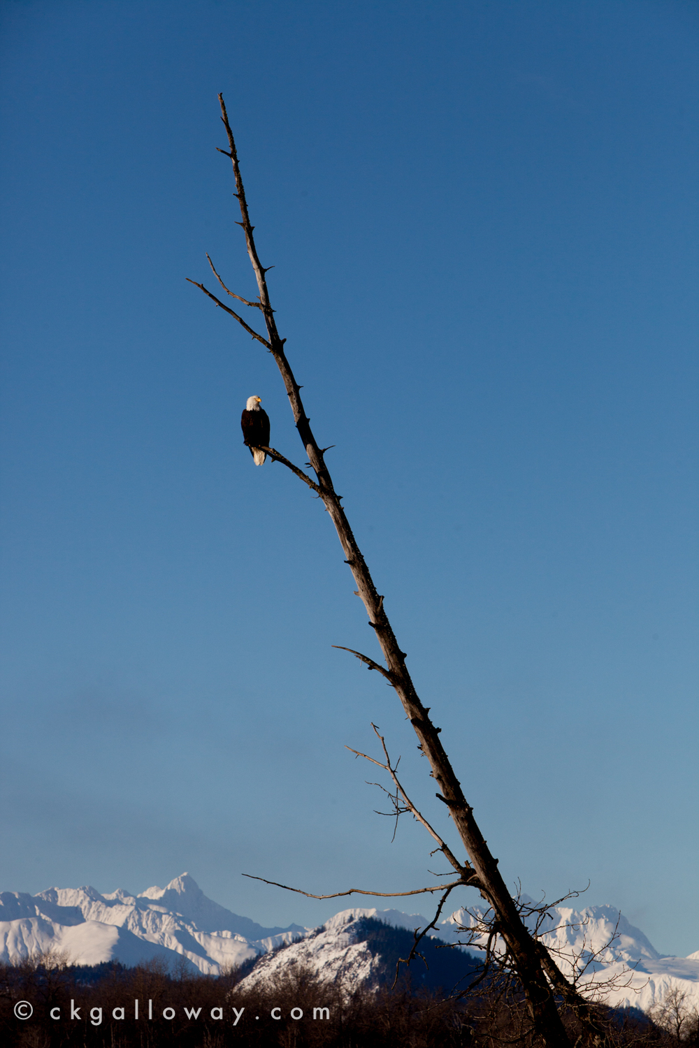 An eagle keeps a watchful eye on it's high perch just outside of Haines, Alaska. Photo by Christa Galloway.