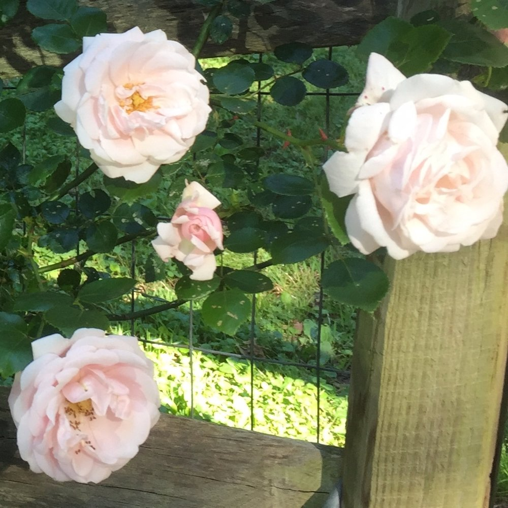 rose+1.jpg