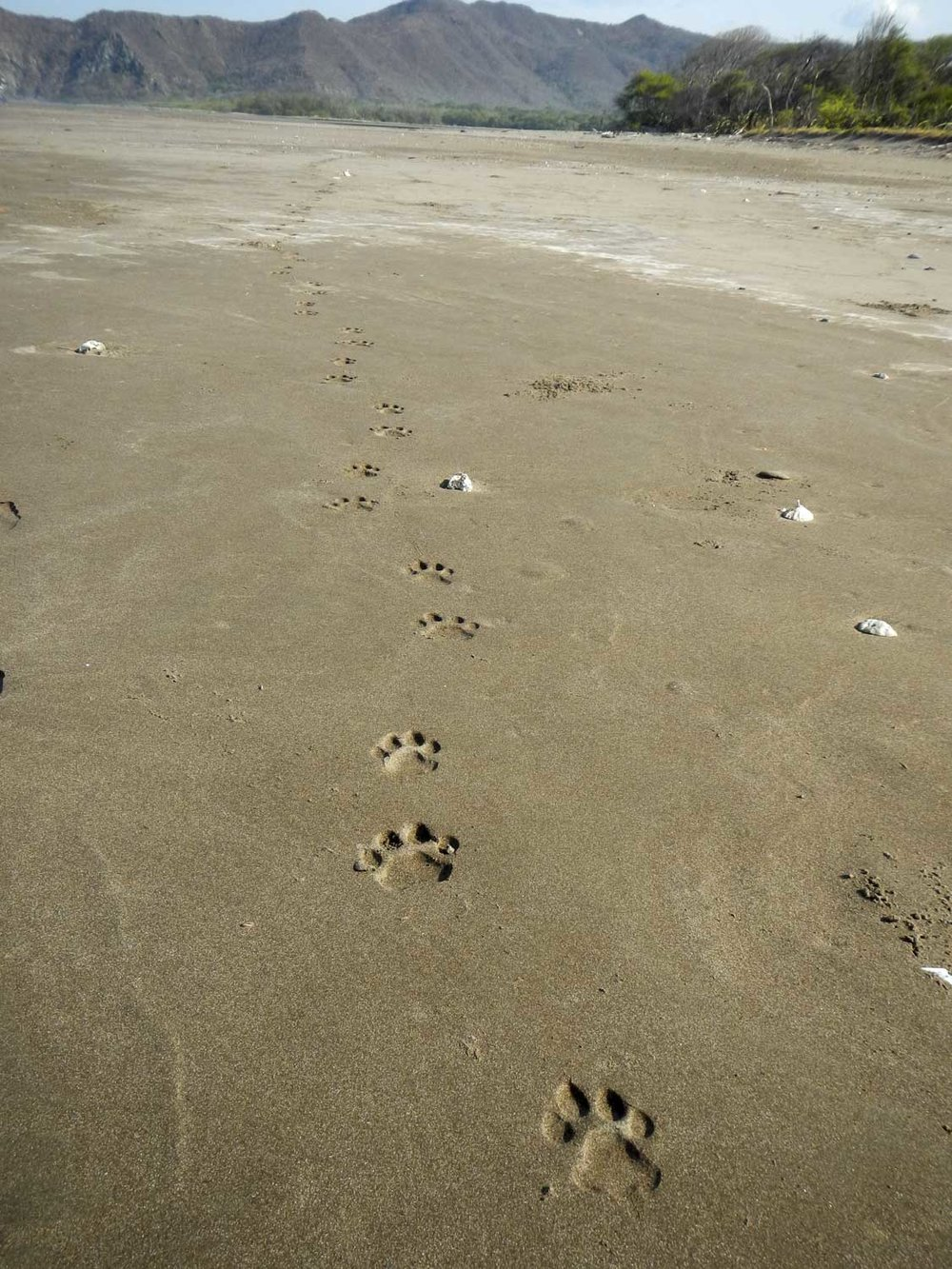 Fresh jaguar tracks on the beach