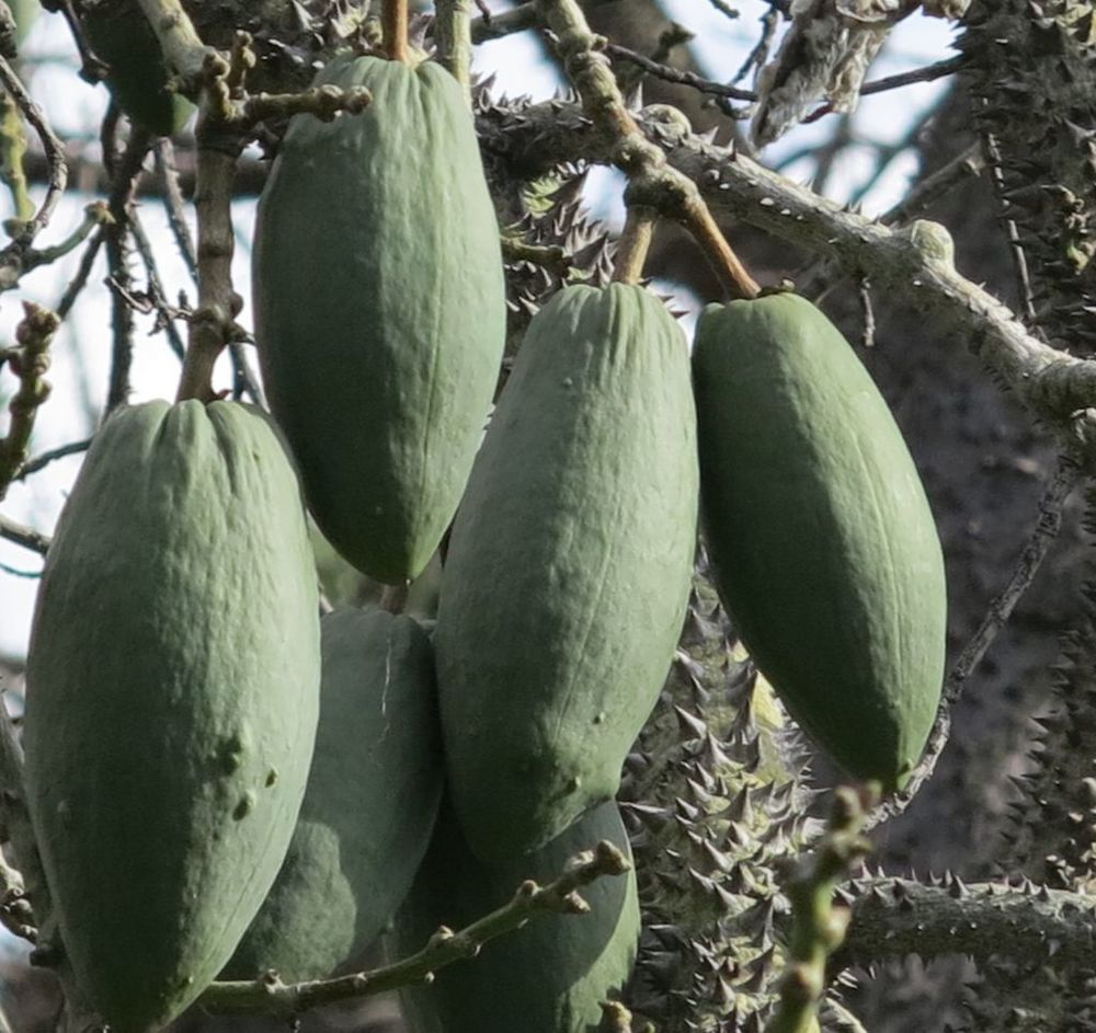 Ceiba speciosa (syn. Chorisia speciosa)    frutos de Sumaúma •  fruits of the Silk floss tree  árvore da América do Sul •  tree from South America  foto de Marla Castro no Parque de Santa Catarina
