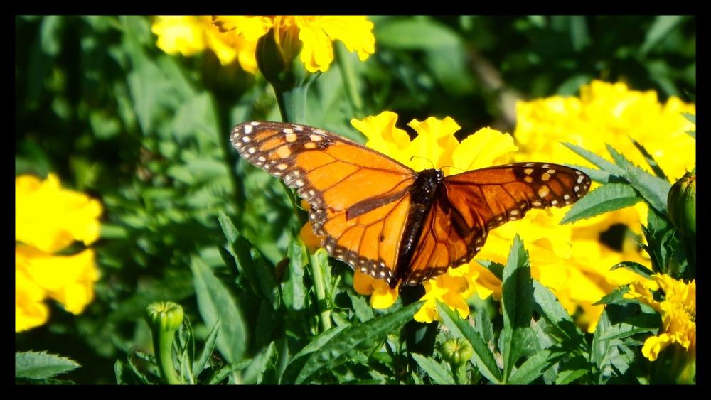Danaus plexippus    borboleta Monarca • Monarch butterfly  foto de José Constantino no Parque de Santa Catarina
