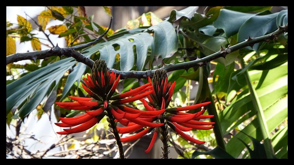 Erythrina speciosa    Coralina-elegante• Coral tree  Árvore do Brasil • Tree from Brazil  foto de José Constantino no Jardim do Hospício da Princesa Dona Maria Amélia