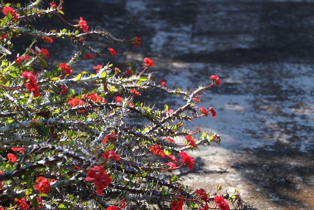 Euphorbia milii    Mira-mira-não-me-toques • Crown of Thorns, Christ Thorn  Arbusto suculento — Madagáscar • Succulent shrub — Madagascar  foto de Virgílio Silva no jardim da Quinta do Palheiro Ferreiro
