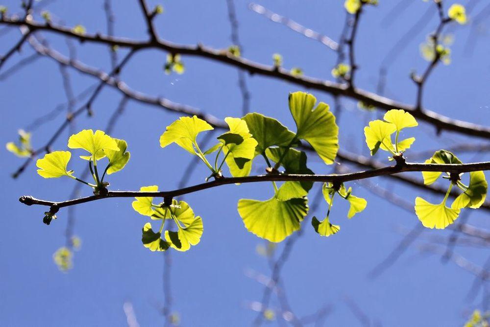 Ginkgo biloba    Ginco • Ginkgo, Maidenhair Tree  Árvore caducifólia — Ásia Oriental • Deciduous tree — Eastern Asia  foto de Virgílio Silva no jardim da Quinta do Palheiro Ferreiro
