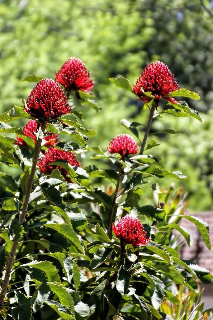Telopea speciosissima    Telópea • Waratah  Arbusto — Nova Gales do Sul (Austrália) • Shrub — New South Wales (Australia)  foto de Virgílio Silva no jardim da Quinta do Palheiro Ferreiro
