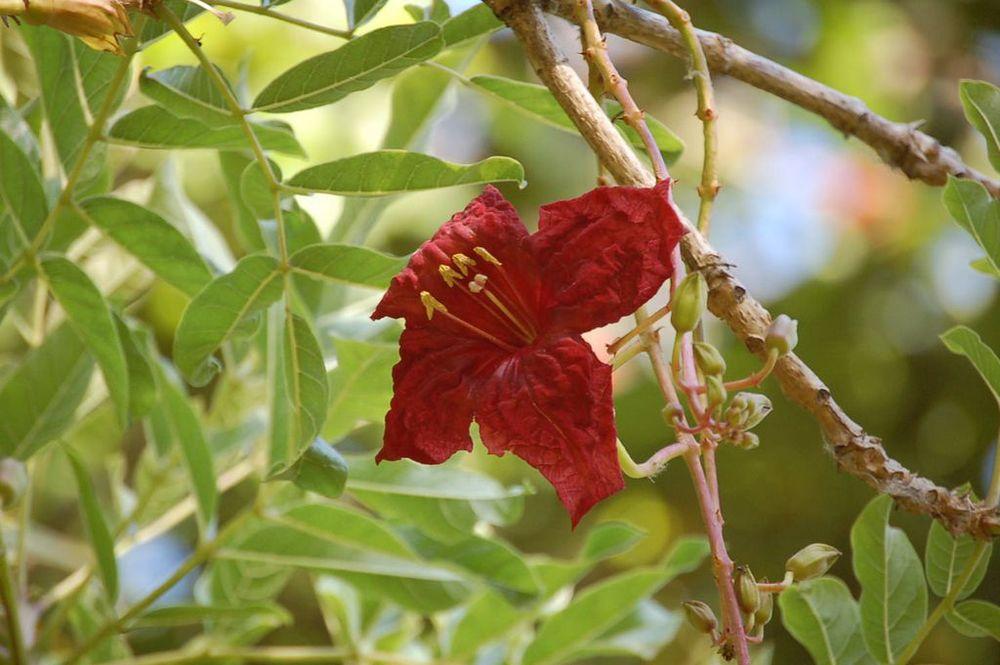 Kigelia africana    Árvore-das-salsichas • Sausage Tree  Árvore natural da África Tropical • Tree from tropical Africa  foto de Gil Abreu no Jardim Municipal do Funchal