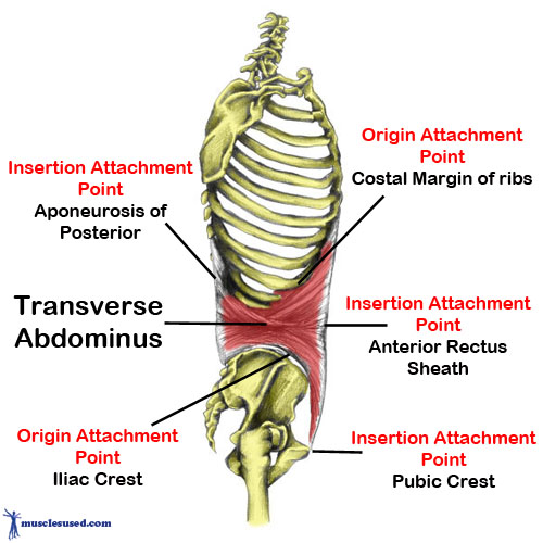 Let S Talk About Abs Part 1 The Transverse Abs Annie Is