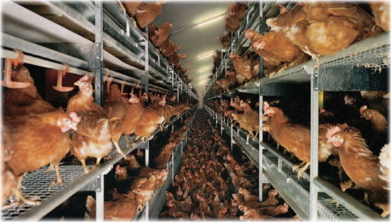 Cage-free hens - no sunlight, no room. Image  via
