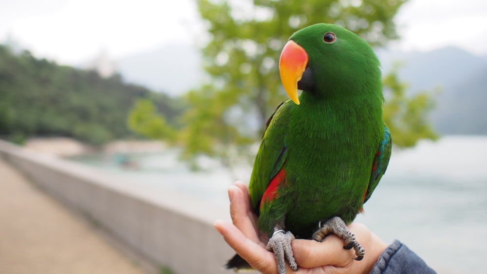 GH-parrot.jpg