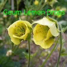 Geum Lemon Drops.png
