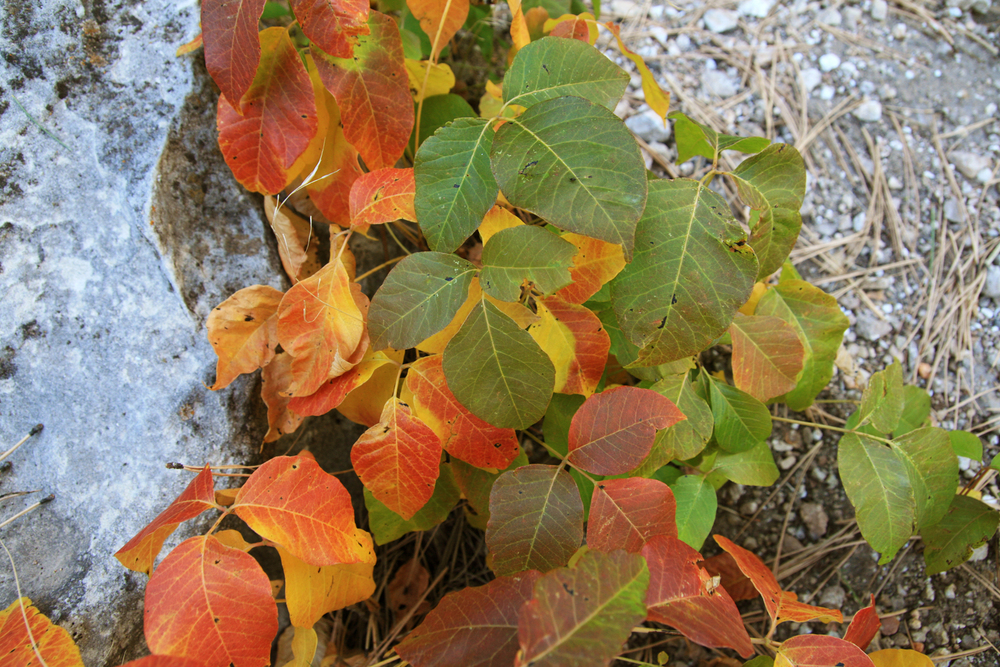 Poison Ivy in autumn