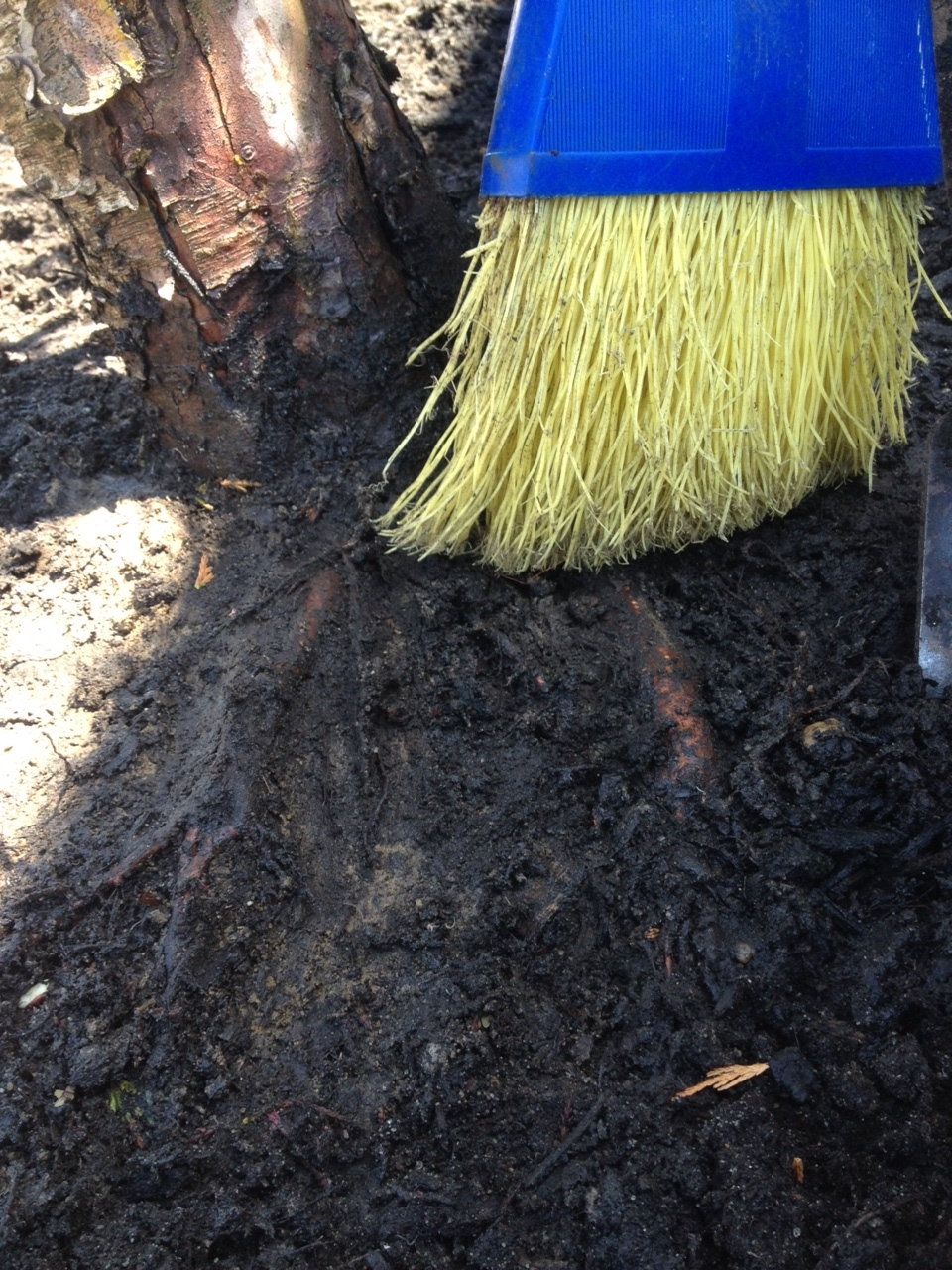 Here Gregg is clearing mulch off of the crown and roots of an Alaskan Cedar