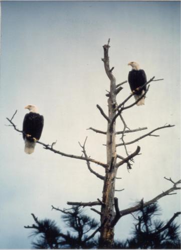 Bald Eagle pair.png