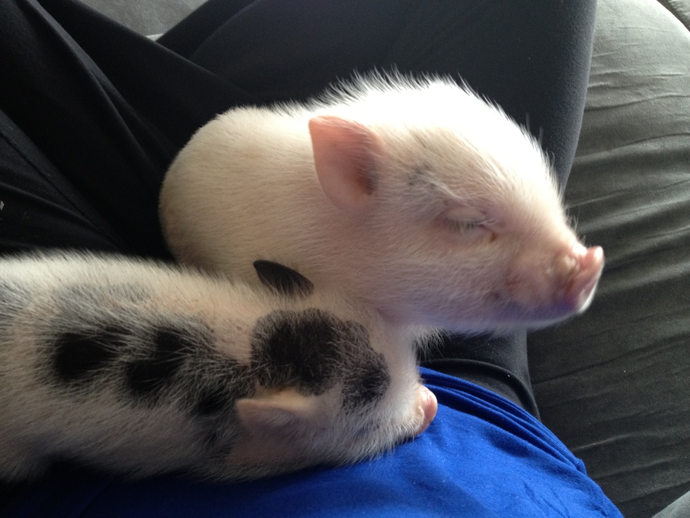 mini-pigs-sleeping.jpg
