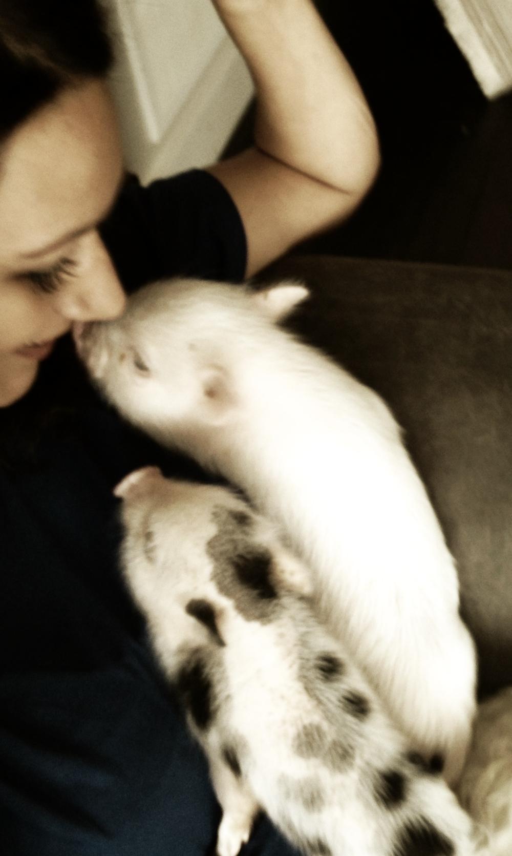 mini-pet-pigs-cuddle.jpg