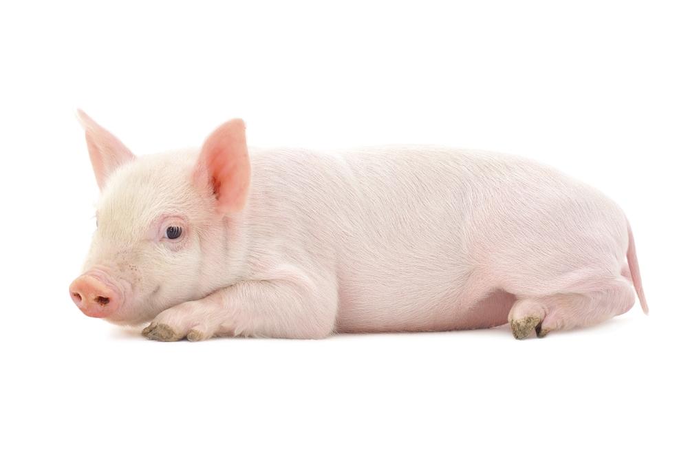 Miniature Pig Vancouver BC