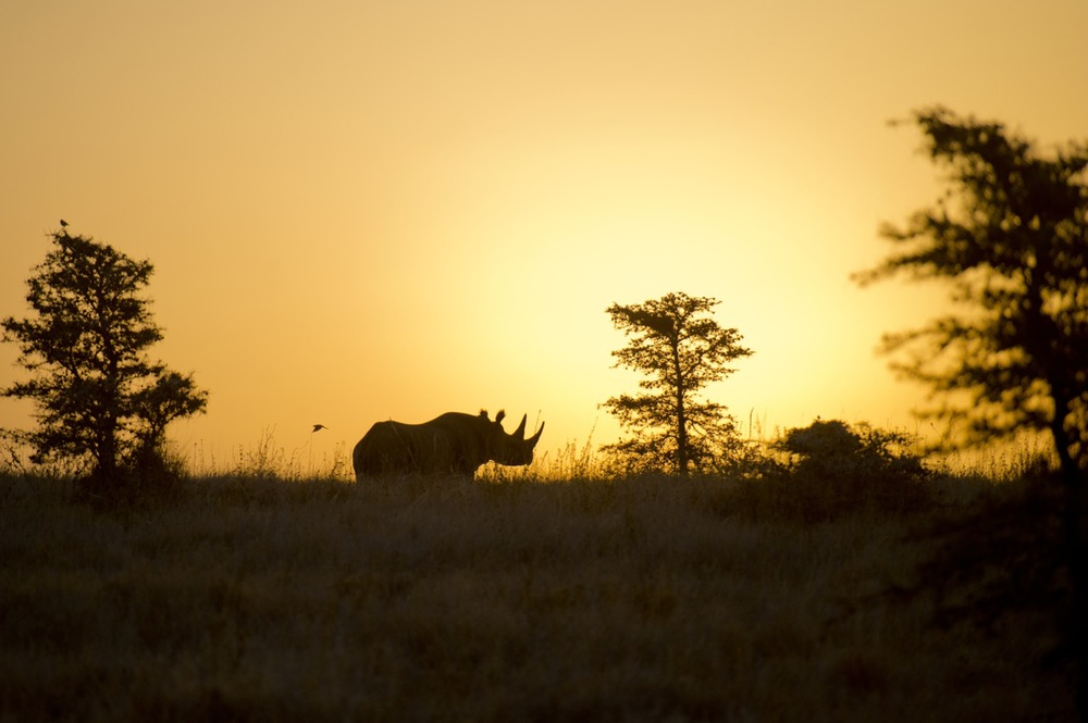 BLACK RHINO, ONE OF APPROXIMATELY 4,500 LEFT IN THE WORLD. LEWA WILDLIFE CONSERVANCY-PHOTO BY MARTIN BUZORA