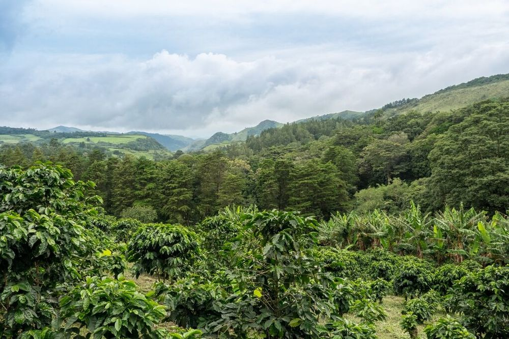 The El Trapiche coffee plantation. Here, this is where the coffee beans are grown.