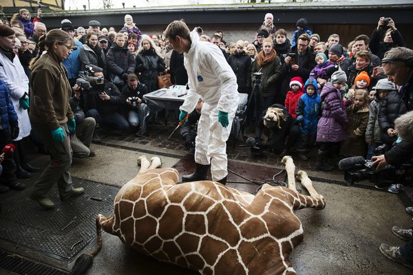 Courtesy of The New York Times. Marius the giraffe was only 18 months old when he was euthanized and publicly fed to lions at the Copenhagen Zoo (seen above).