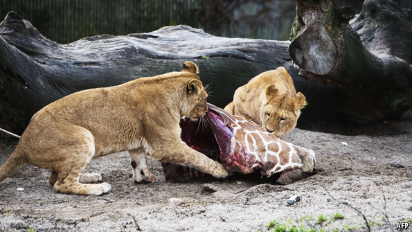 Courtesy of Daily Mail UK. Marius the giraffe was euthanized and fed to lions at the Copenhagen Zoo, an event which was open to the public for viewing.