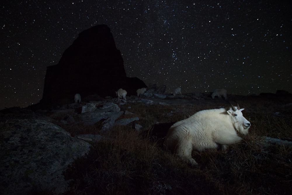 Surrounded by stars, a large dominant billy mountain goat rests while the rest of the herd grazes on alpine grasses.  © Connor Stefanison