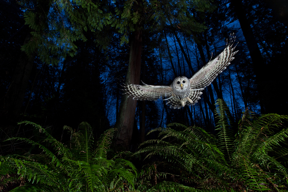A female barred owl swoops through an urban forest in Burnaby, B.C, Canada. Subject attracted with a dead mouse.  © Connor Stefanison