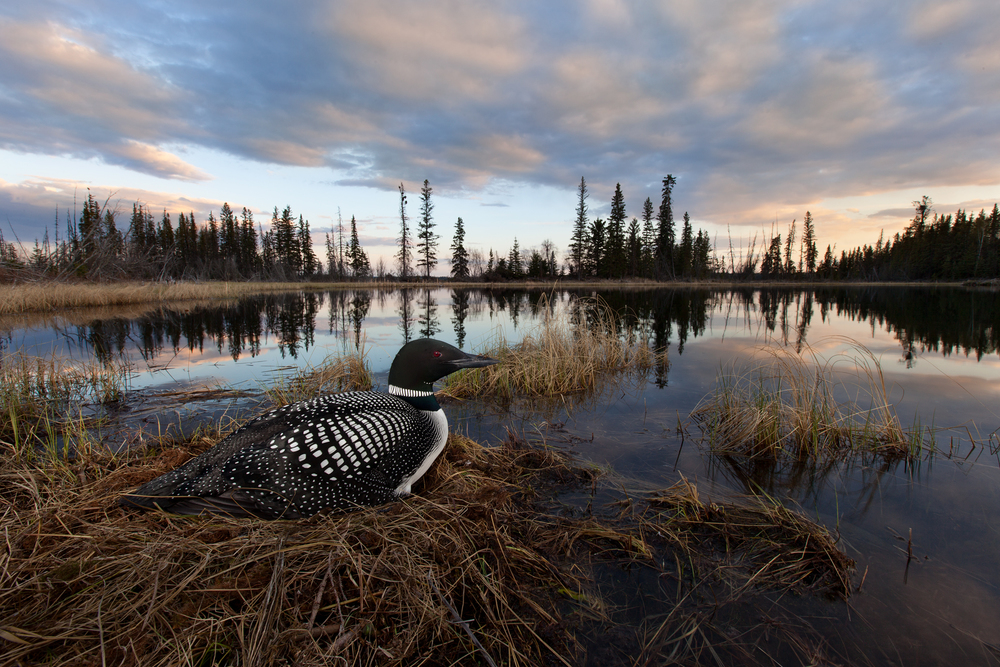 A female common loon sits on her nest at sunset in the interior of B.C Canada. © Connor Stefanison