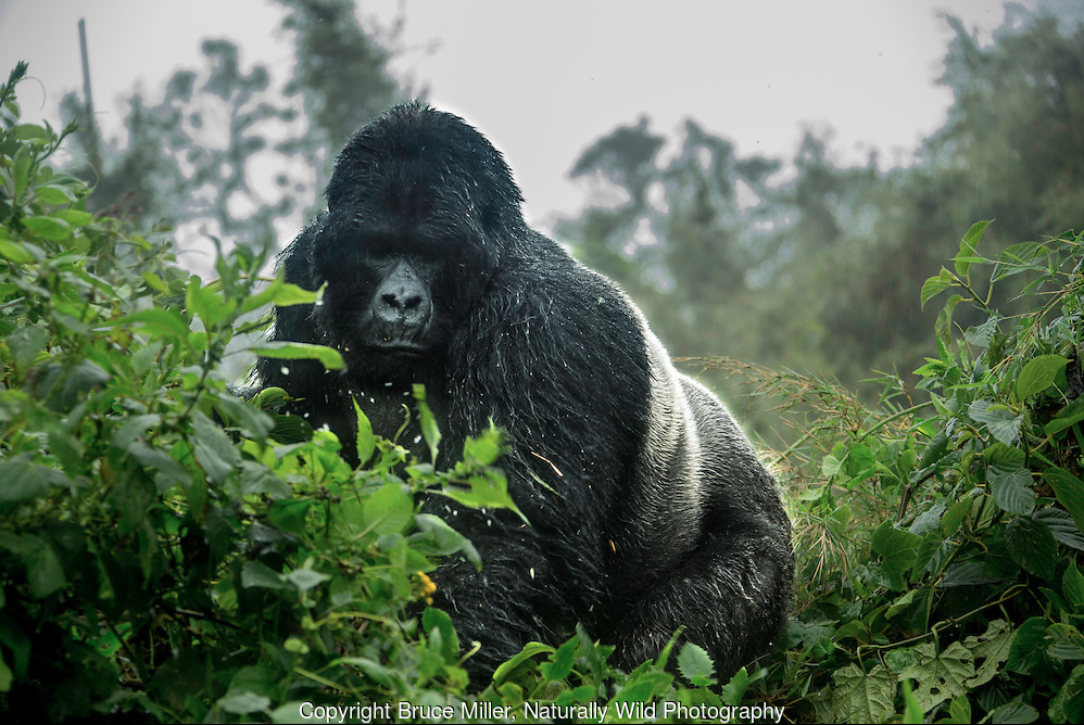 MOUNTAIN GORILLA IN VIRUNGA, RWANDA ©BRUCE MILLER, NATURALLY WILD PHOTOGRAPHY