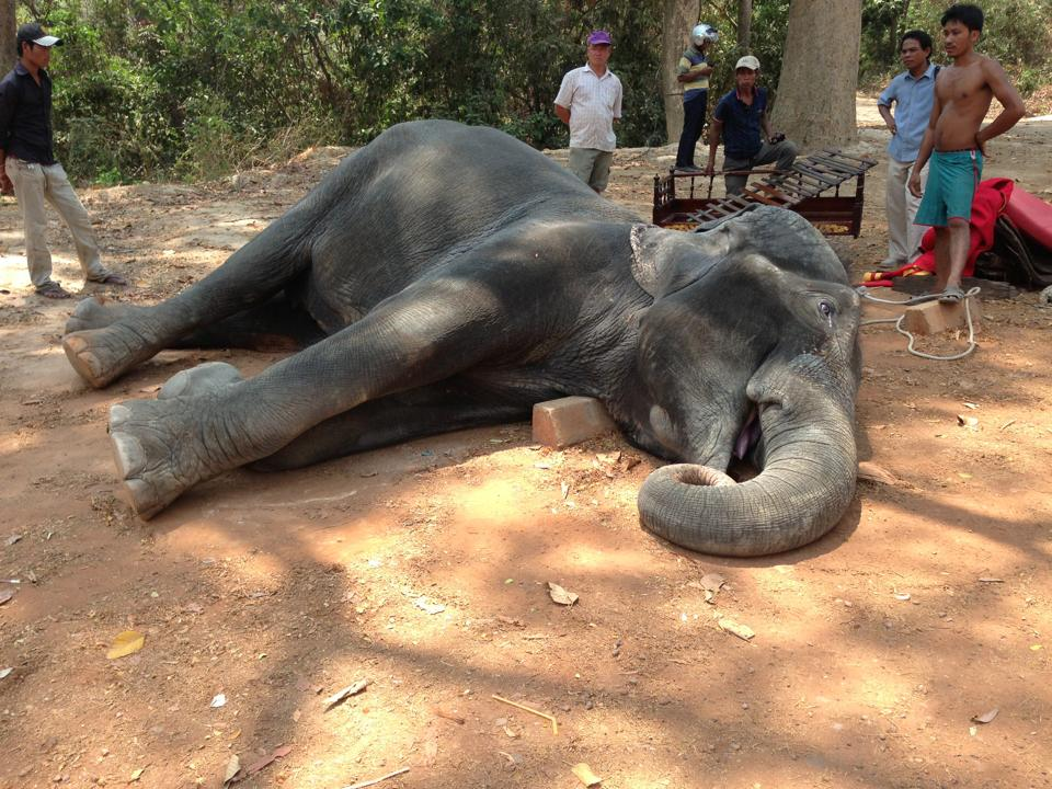 Sambo, an Asian elephant, collapsed and died in a heatwave after carrying tourists on her back for two kilometres non-stop. Her cause of death was concluded as a result of hot temperatures which caused stress, shock, high blood pressure and a heart attack. PHOTO: Yem Senok