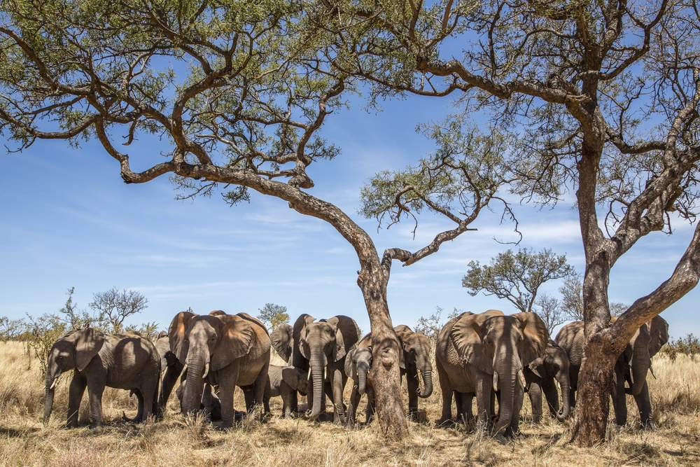 A herd of elephants take shelter in the shade in Tanzania spotted by EASTCO safari photographer Moira Lennox.