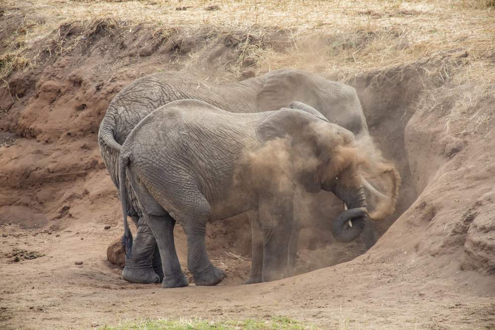 Elephants cool off in the dirt in Tanzania. PHOTO: Moira Lennox