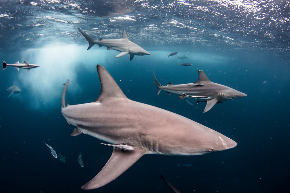 Blacktip Reef Sharks hunting in the Aliwal Shoal,South Africa. (Photo Credit: Jeff Hester,2014)