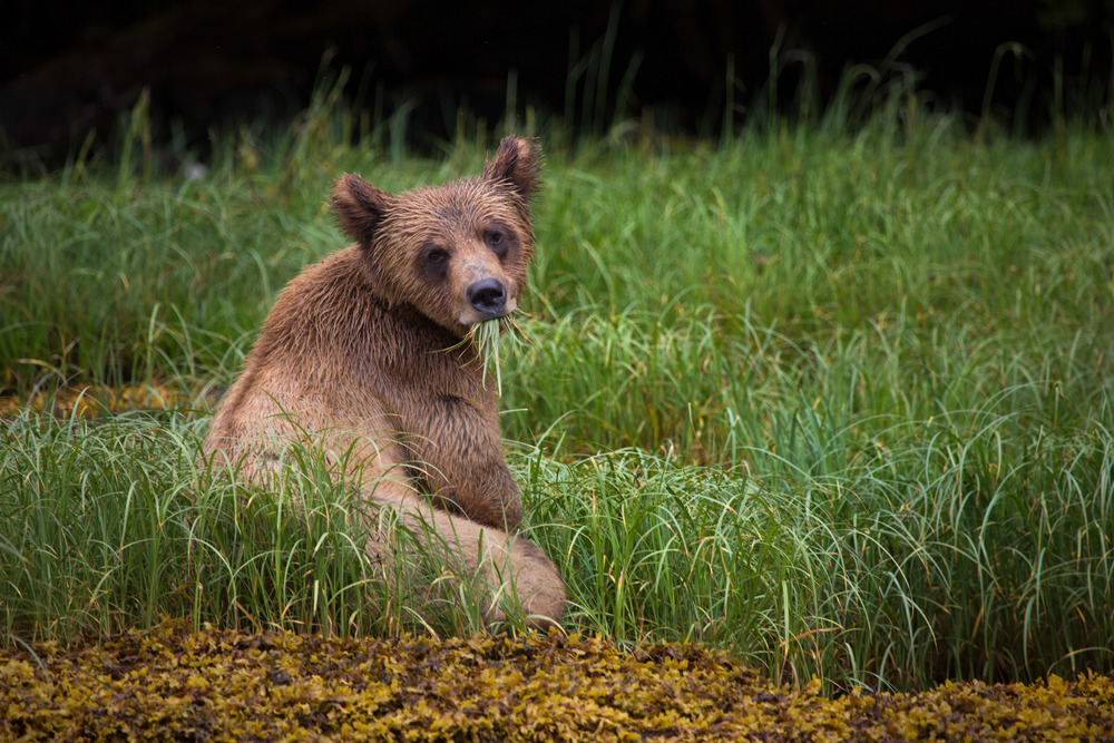 A grizzly bear cub enjoys a healthy snack in Khutzeymateen, British Columbia. Clint Fraser, 2016