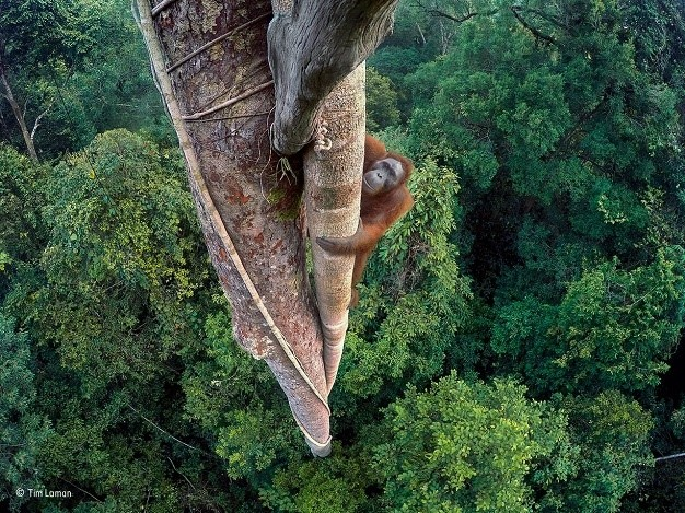 Adult Wildlife Photographer of the Year Winner: Tim Laman, Entwined Lives