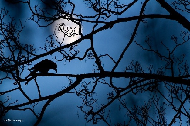 Young Wildlife Photographer of the Year Winner: Gideon Knight, The Moon and the Crow