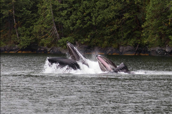 Whales surface in northern British Columbia during Esposti's trip with Nicklen and Mittermeier. PHOTO: Paul Esposti