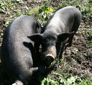 2-mulefoot-hogs.jpg
