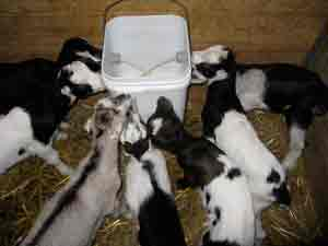 Baby goats drinking from a bucket.