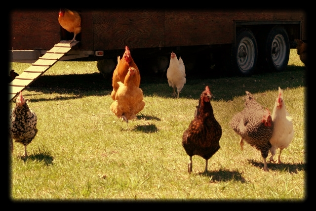 BURNT VALLEY CHICKENS.jpeg