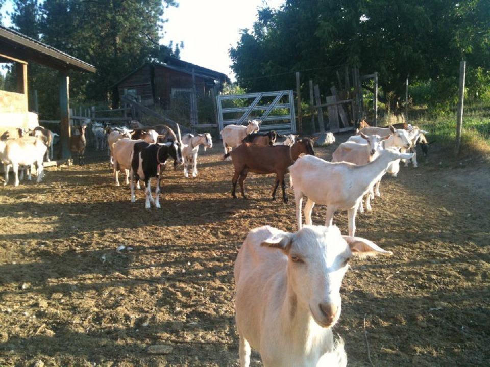 quillisascut goats 2.jpg