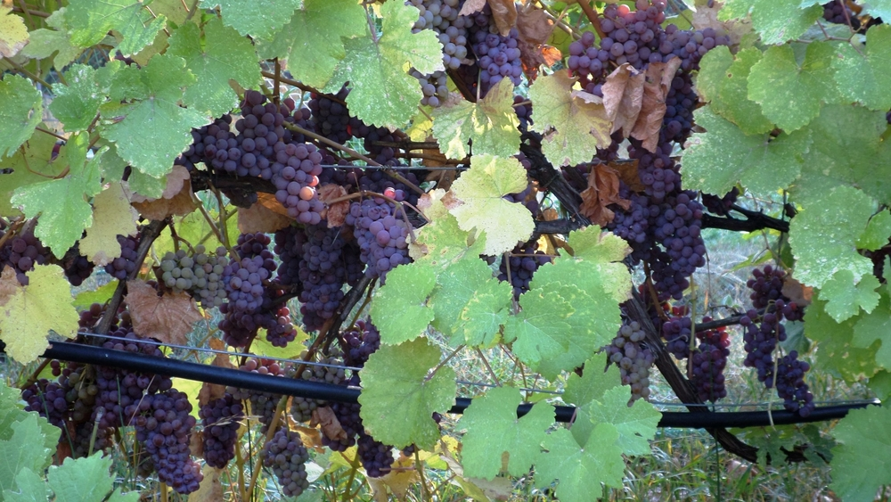 Gewurztraminer nearly on the ground.jpg