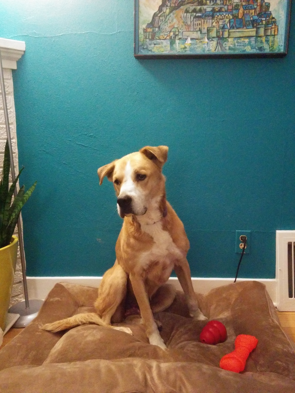 Bandit | Anatolian Shepard/Lab 8 year old male Available for Adoption