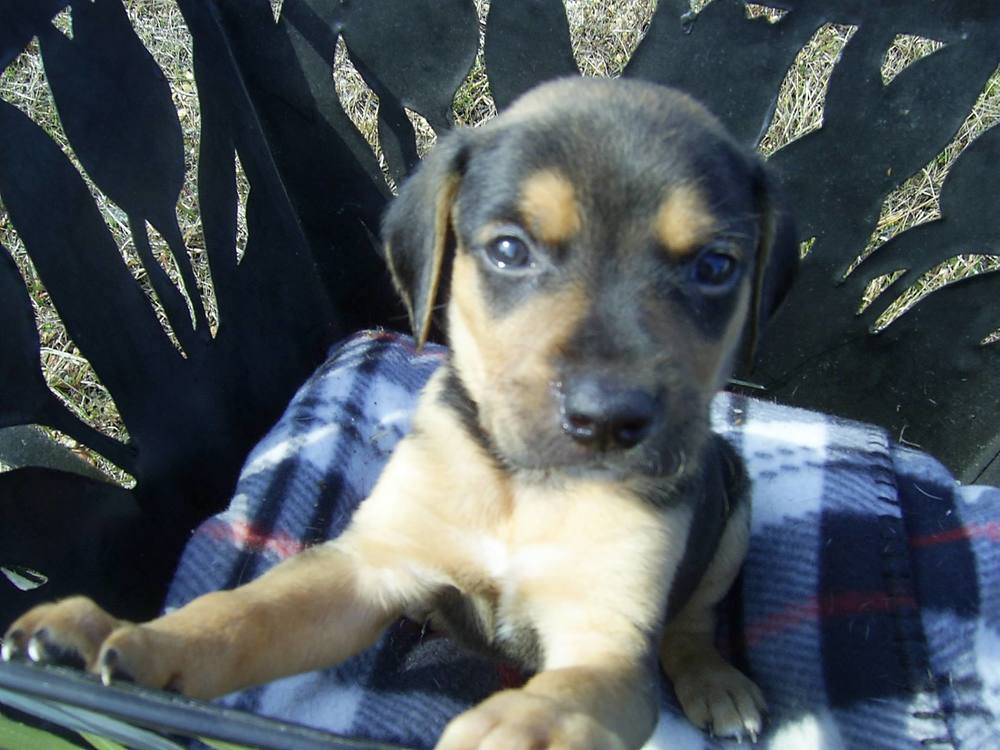 Frances | Lab/Shepherd Mix 8 week old male Available Soon