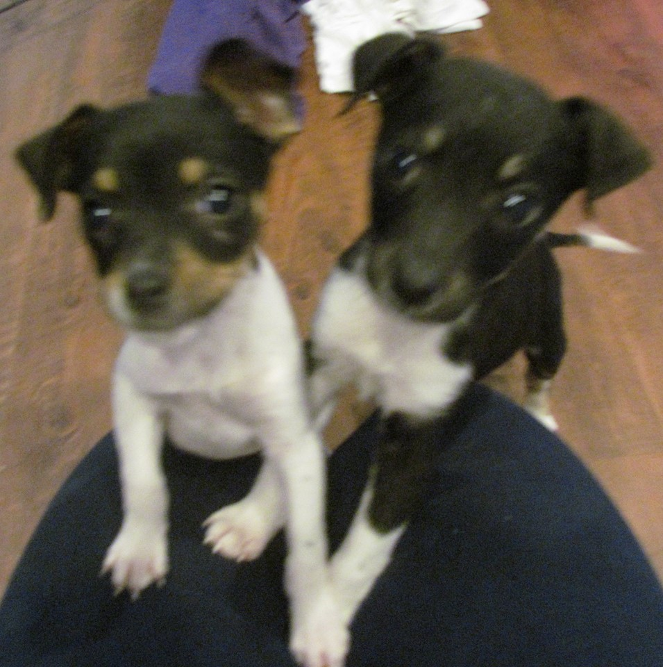 Mario | Rat Terrier 10 week old male Available Soon