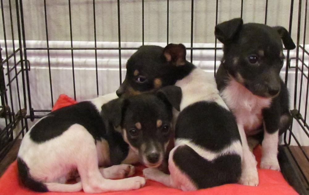 Bruno | Rat Terrier 10 week old male Available Soon