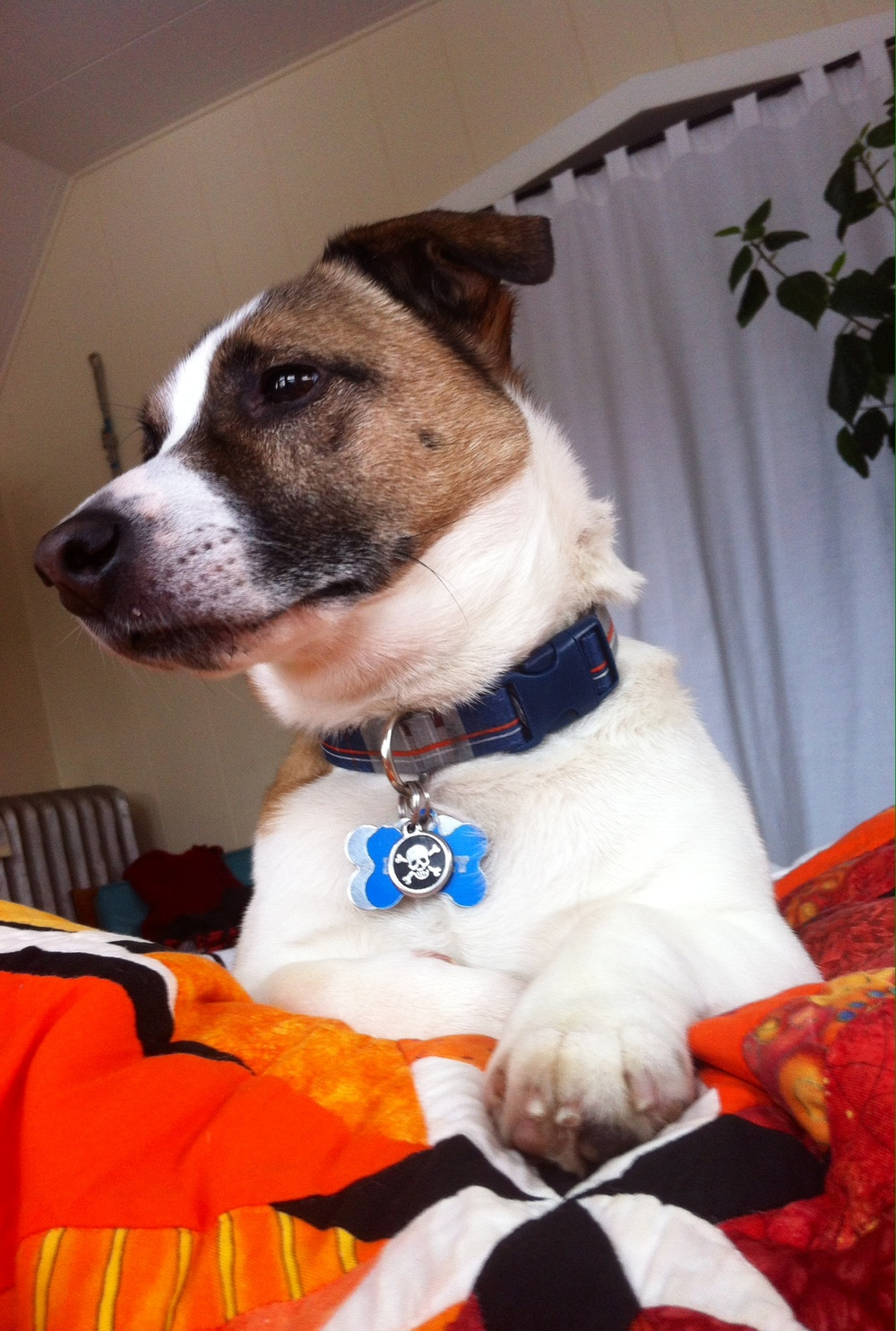 Marley | Corgi/Jack Russell 7 year old male Available for Adoption
