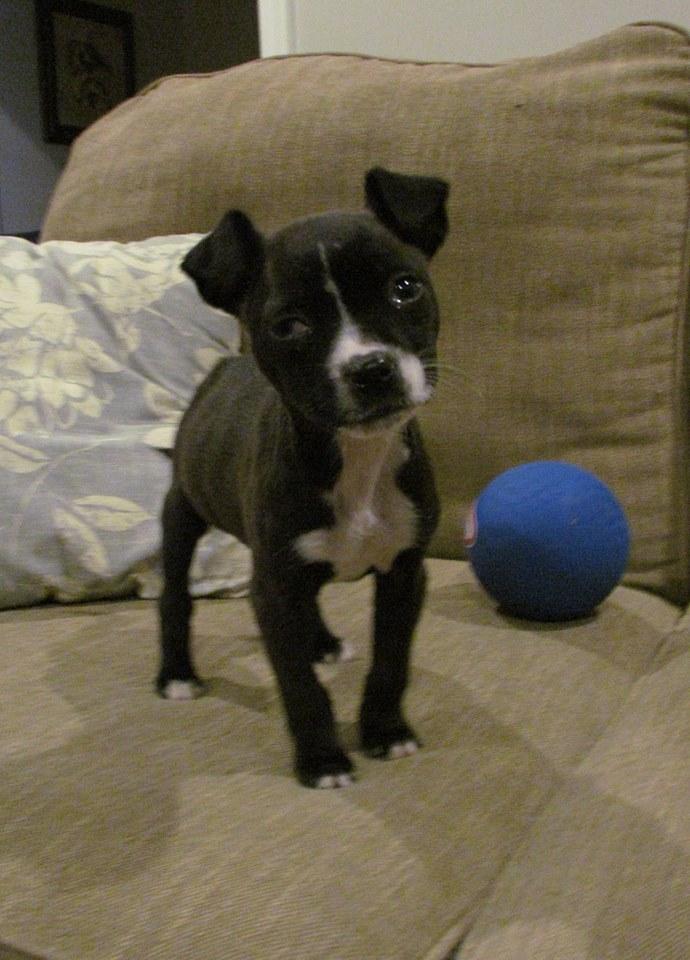 Carmen | Boston Terrier Mix 8 week old female Available Soon